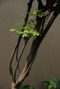 Curry Tree
