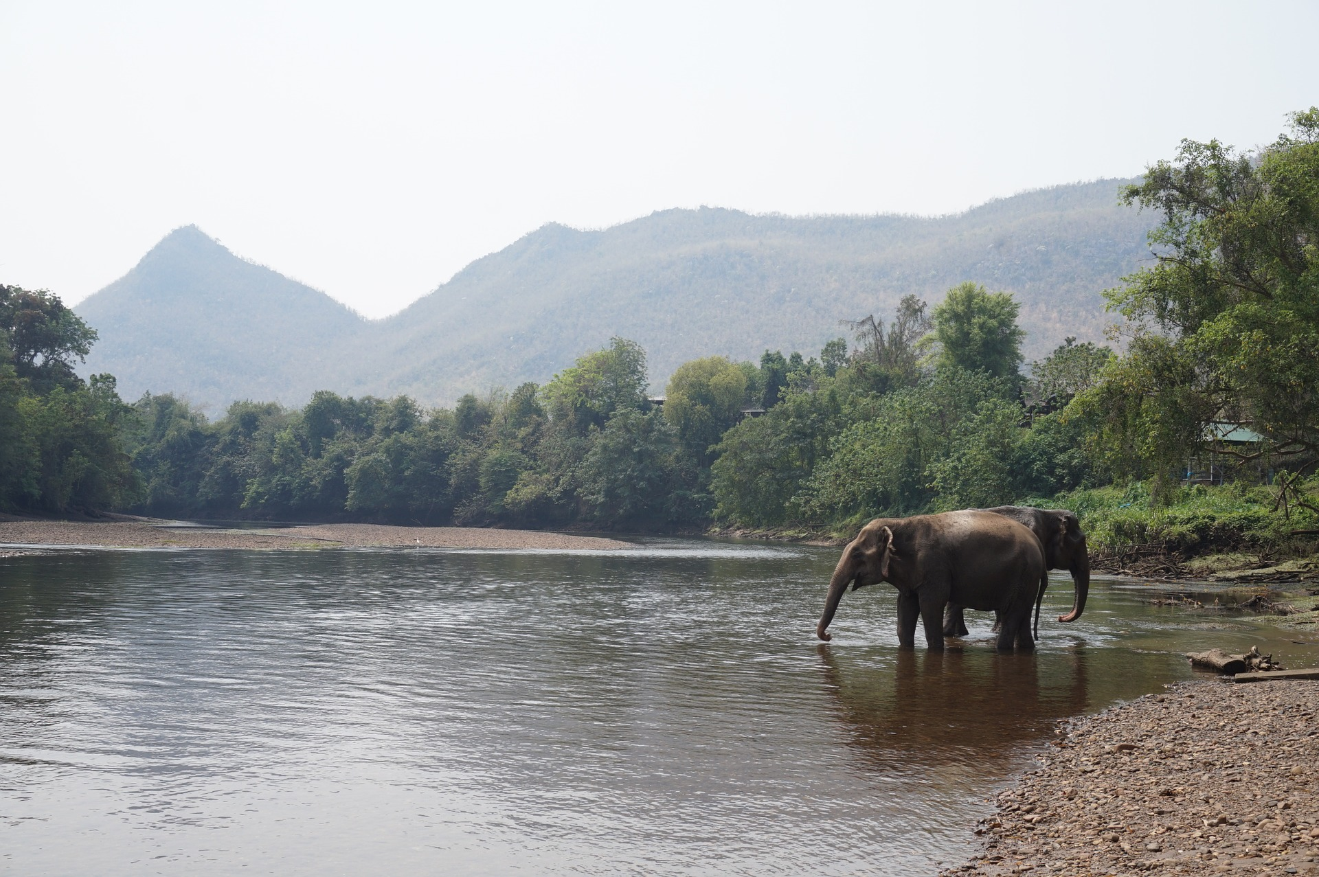 Thai Elephant In a River