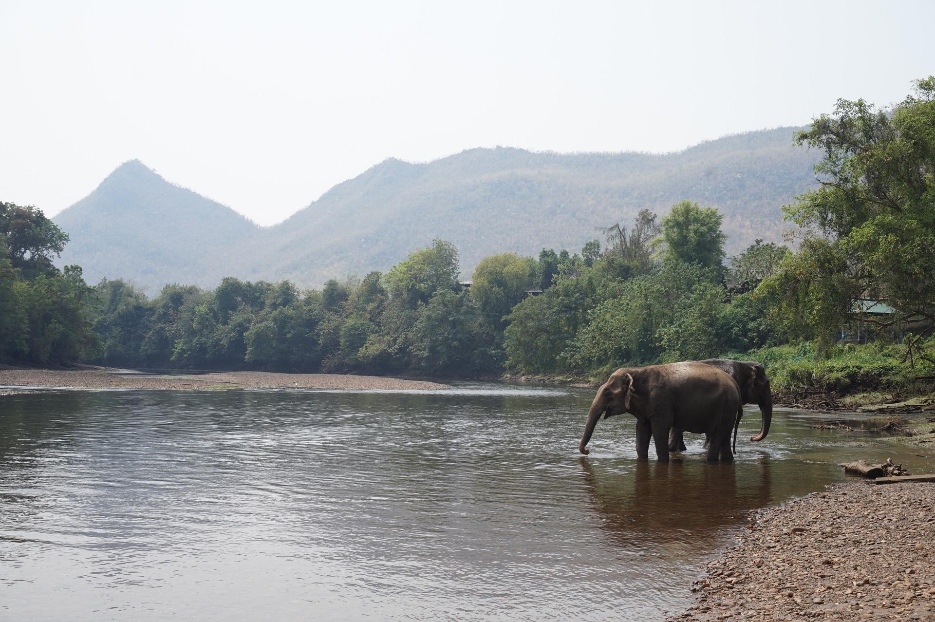 Thai Elephant In a River