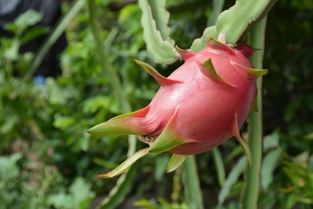Cactus that produces dragon fruit
